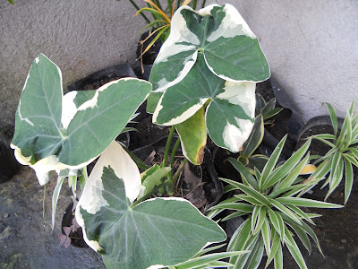 mottled green and white caladiums